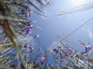 Sinine taevas ja kellukad põllul altpoolt üles vaadates